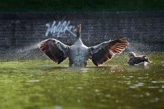 De wilde gans schudt het water van zijn veren stock fotografie
