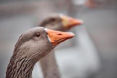 De wilde ganzen en de eenden coëxisteren met mensen het lopen royalty-vrije stock afbeelding