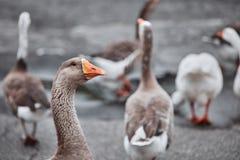 De wilde ganzen en de eenden coëxisteren met mensen het lopen royalty-vrije stock afbeeldingen