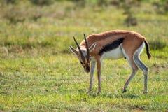 De wilde gazelle van Thompson ` s Royalty-vrije Stock Foto