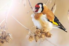 De wilde gekleurde vogel in de de winter` s ochtend zit op een droge stam Stock Foto's