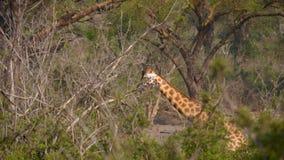 De wilde Giraf gaat door Bush in Afrika stock videobeelden