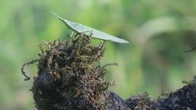 De wilde groene sprinkhaan, de wilde groene sprinkhaan stock videobeelden