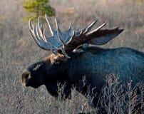 De wilde Grote Amerikaanse elanden van de Stier Royalty-vrije Stock Foto's