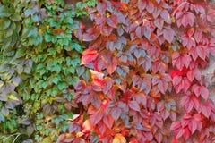 De wilde herfst van druivenbladeren stock fotografie