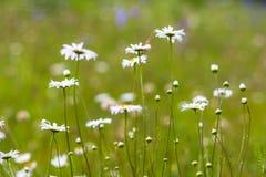 De wilde kamillebloemen die in groen gras groeien, vatten bloemen natuurlijke ecologieachtergrond samen Royalty-vrije Stock Foto