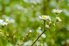 De wilde kamillebloemen die op groene weide groeien, vatten bloemenachtergrond samen Royalty-vrije Stock Foto