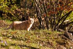 De wilde kat stock afbeelding