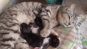 De wilde kat geeft geboorte en zoogt zijn puppy stock videobeelden