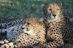 De Wilde Katten van de jachtluipaard Stock Afbeeldingen
