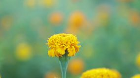 De wilde Lengte van de de Definitiefilm van Tuingoudsbloemen Hoge stock videobeelden