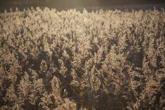 De wilde maxima van riet sweetgrass glyceria backlit door zon gelijk te maken royalty-vrije stock foto
