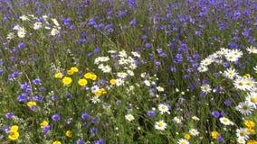 De wilde mooie zomer bloeit gebied stock videobeelden