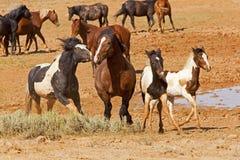 De wilde Mustangen vechten en beet royalty-vrije stock afbeelding
