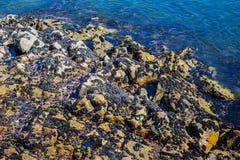 De wilde oceaanmosselen van de Zwarte Zee op rotsen, natuurlijke milieuzeevruchten Stock Foto