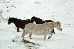 De wilde poney van Dartmoor in de sneeuw Stock Afbeeldingen