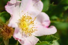 De wilde prairie nam macro - Rosa arkansana toe stock afbeeldingen