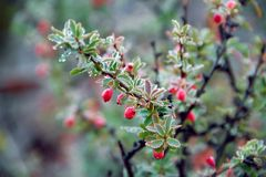De wilde rode bessen groeien in het bos op Bush Eetbare bessen Royalty-vrije Stock Foto's