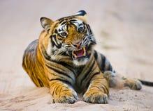 De wilde Tijger die van Bengalen op de weg in de wildernis liggen India BANDHAVGARH NATIONAAL PARK Madhya Pradesh royalty-vrije stock afbeeldingen