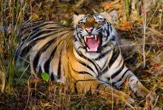 De wilde Tijger die van Bengalen op het gras en de geeuwen liggen India BANDHAVGARH NATIONAAL PARK Madhya Pradesh royalty-vrije stock afbeeldingen
