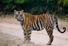 De wilde tijger die van Bengalen zich op de weg in de wildernis bevinden India BANDHAVGARH NATIONAAL PARK Madhya Pradesh royalty-vrije stock afbeeldingen