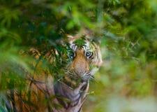 De wilde tijger van Bengalen kijkt uit van de struiken in de wildernis India BANDHAVGARH NATIONAAL PARK Madhya Pradesh stock afbeeldingen