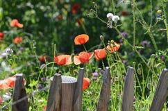 De wilde tuin van de bloempapaver met houten piketomheining stock fotografie