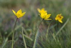 De wilde tulp is een de lente vroege bloeiende installatie stock foto