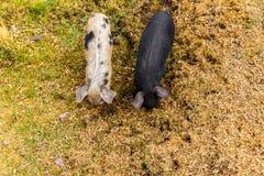 De wilde varkens weiden het eten van het gras op aard Stock Foto