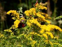 De wilde vlinder in aard op weide bloeit close-up Stock Afbeeldingen