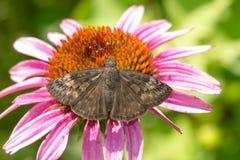 De wilde Vlinder van Indigoduskywing - Erynnis-baptisiae royalty-vrije stock foto