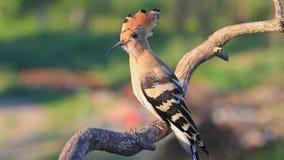 De wilde vogel met een kam op het hoofd zit in de zon stock videobeelden