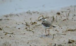 De wilde vogel van Vietnam: Weinig geringde plevier royalty-vrije stock fotografie