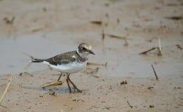 De wilde vogel van Vietnam: Weinig geringde plevier stock afbeelding