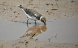 De wilde vogel van Vietnam: Weinig geringde plevier stock fotografie