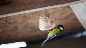 De wilde vogelmees pikt gehangen omhoog vet dichtbij het huis stock videobeelden