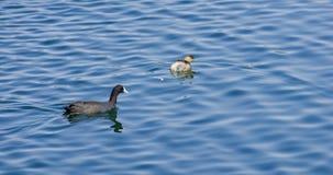 De wilde vogels genieten van water dichtbij meer Baboyaga in Ethiopië, Februari 2019 royalty-vrije stock foto