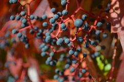 De wilde wijnherfst Stock Afbeeldingen