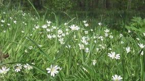 De wilde witte bloemen die van Stellaria op de wind slingeren De lente Stellaria is een soort species bloeiend installaties in de stock footage