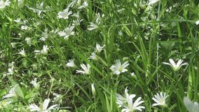 De wilde witte bloemen die van Stellaria op de wind slingeren De lente Stellaria is een soort species bloeiend installaties in de stock videobeelden