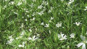 De wilde witte bloemen die van Stellaria op de wind slingeren De lente Stellaria is een soort species bloeiend installaties in de stock video