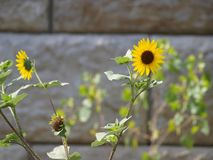 De wilde Zonnebloemen groeien onder een Complex Voetbal Royalty-vrije Stock Fotografie