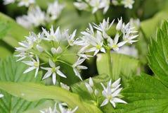De wildernis draagt knoflookbloemen bij de lente, eetbaar culinair kruid stock foto