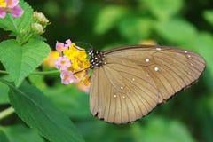 In de wildernis een zwarte vlinder Stock Foto's