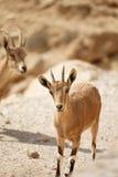De wildernis van de geit Royalty-vrije Stock Foto's