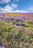 De wildernis van de heide (Denemarken) Royalty-vrije Stock Afbeeldingen