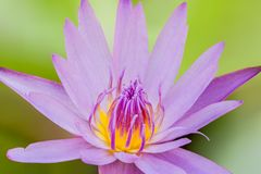 De Wildernis van Nymphaeastellata of de waterlelie of de lotusbloem zijn aquatische installatie a stock afbeeldingen