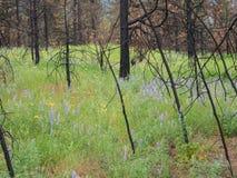 De Wildflowersbloei na een bos wordt gebrand Royalty-vrije Stock Foto's