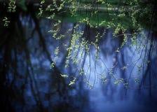 De wilg van de lente. Stock Afbeeldingen