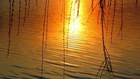 De wilg vertakt zich slingerend in de wind tegen de achtergrond van de het plaatsen zon zonsondergang over het meer, zonsondergan stock footage